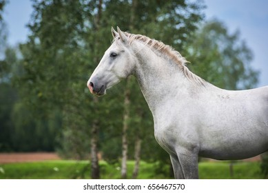 Portrait of lipizzaner horse