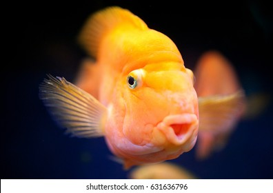 Portrait of the lit golden small fish in an aquarium on a black background