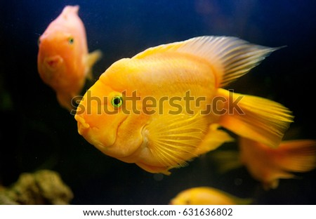 Portrait Lit Golden Small Fish Aquarium Stock Photo Edit Now