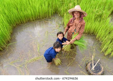 Portrait of a little Asian girl and the old woman working in rice plant field.