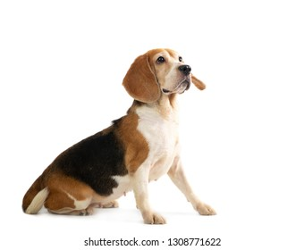 portrait of little beagle playing tennis ball isolated on white background