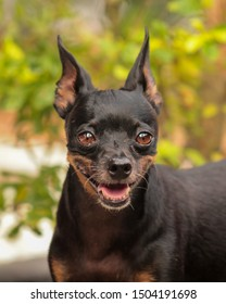 Portrait of little and beatiful mini pinscher dog with unfocus background