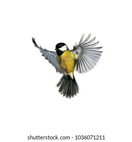portrait of a little bird tit flying wide spread wings and flushing feathers on white isolated background
