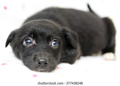 portrait of a little black puppy close-up