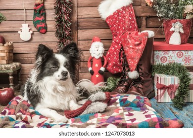 Portrait of little black and white papillon dog  and Santa doll with  different vintage Christmas decoration and gifts