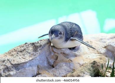 Portrait of a little blue penguin - Eudyptula minor - on Penguin Island, Rockingham, Western Australia
