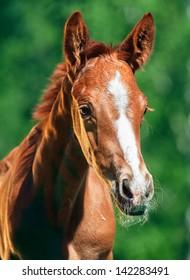 portrait of little chestnut  Trakehner foal