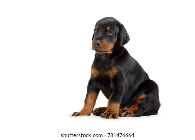 Portrait of little doberman puppy isolated on white.