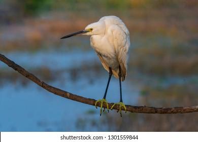 Portrait of Little Egret roosting on tree branch