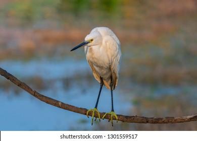Portrait of Little egret taken in Bharatpur, India