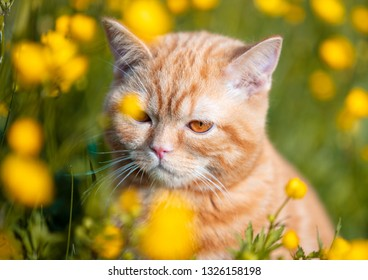 Portrait of a little ginger kitten sitting on the Ranunculus flowers field. Cat enjoying spring