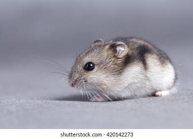 Portrait of a little hamster on grey background