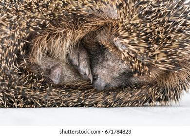 Portrait of little hedgehog, cute hedgehog.