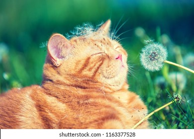 Portrait of a little kitten lying on the dandelion field. Cat enjoying spring and sniffing blowball