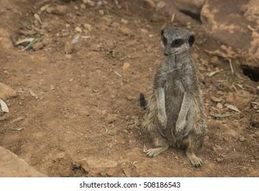 Portrait of little meerkat sitting on a grass, Greece