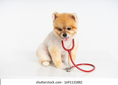 Portrait of little Pomeranian dog sits on the table with stethoscope isolated on white background. Studio shot of adorable puppy at animal hospital.