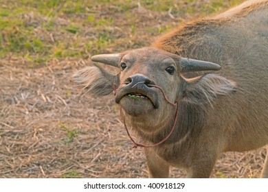 Portrait of little Water Buffalo on grass fied