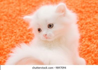 Portrait of little white cat at orange carpet