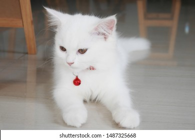 Portrait of a Little White Cat Wearing Red Collar with a Red Bell Laying on the Floor. Cute Cat