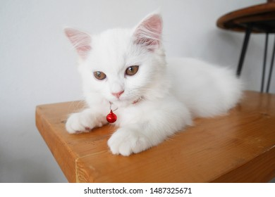 Portrait of a Little White Cat Wearing Red Collar with a Red Bell Laying on the Wooden Stool. Cute Cat