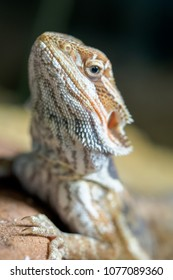 Portrait of live agama lizard bearded dragon