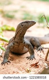 portrait of live monitor lizard (varan)