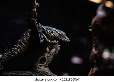 portrait of live monitor lizard varan dof sharp focus space for text macro reptile jungle aquarium home pet
