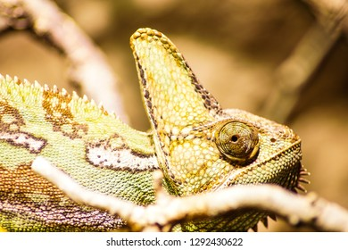 portrait of a lizard chameleon
