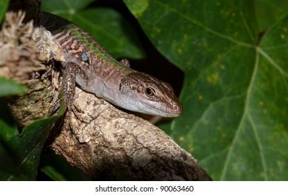 portrait of lizard in the garden