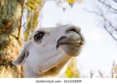 Portrait of a llama, close up, wild animals.