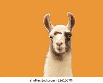 Portrait of a llama isolated on orange