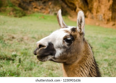 Portrait of a llama in a park surrounded by nature, brown tones and white and black head