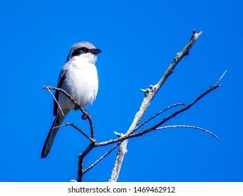 Portrait of a Loggerhead Shrike, aka the Butcher Bird