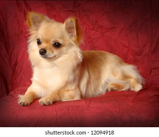 A portrait of a Long Haired Chihuahua