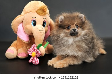 Portrait of the long haired Pomeranian Spitz puppy with funny toy Elephant with a flower on a black isolated background.
