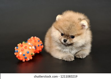 Portrait of the long haired red-sable colored miniature Pomeranian Spitz puppy with colorful bone shape chewing toy on a black isolated background.