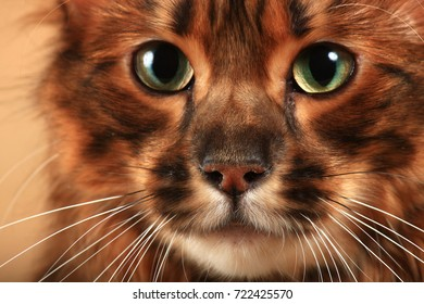 Portrait of a long haired tabby cat