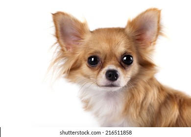 portrait of long-haired Chihuahua hua