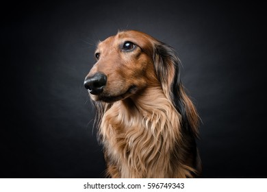 Portrait of a long-haired dachshund sitting a against black background