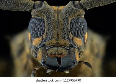 portrait longhorn beetle