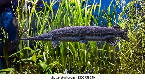 Portrait of longnose gar. Latin name - Lepisosteas osseus