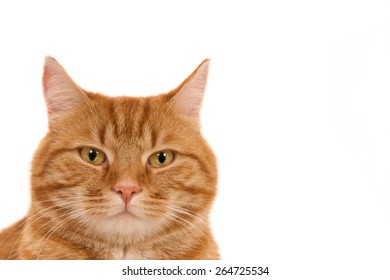 Portrait of a looking ginger cat against a white background with empty space for text.