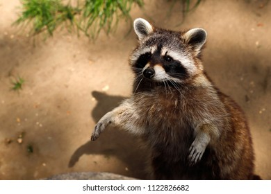 Portrait of lotor common raccoon. Photography of nature and wildlife.