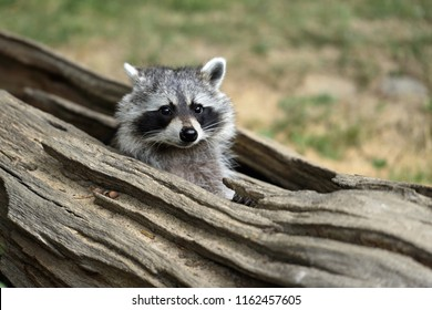 Portrait of lotor common raccoon. Tree hiding place of raccoon. Look out of hiding. Photography of nature and wildlife.