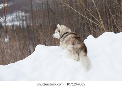 Portrait of lovely beige and white dog breed siberian husky in winter forest. Image of Cute husky topdog is lying on the hill on the snow and observing mountains and forest.