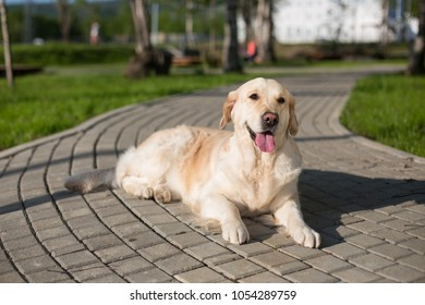 Portrait of lovely golden retriever dog is lying on path in the park. Cute golden girl is having relax outdoor after grooming