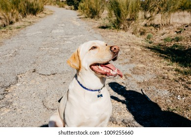 Portrait of a lovely labrador dog with funny faces during a sunny morning walk outdoors. Lifestyle.