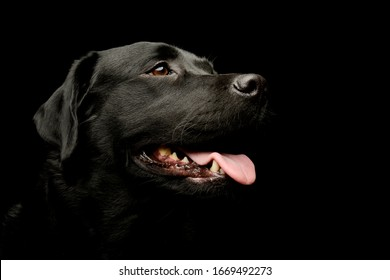Portrait of a lovely labrador retriever looking satisfied with hanging tongue