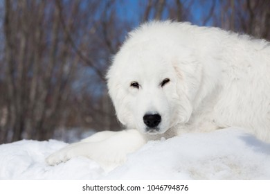 Portrait of lovely maremma sheepdog looking to the camera. Close up of big white fluffy dog lying on the snow on the blue sky background in winter