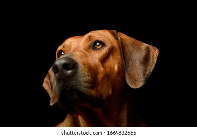 Portrait of a lovely rhodesian ridgeback looking curiously on black background